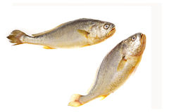 желтый цвет croakers стоковые фото
