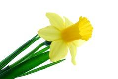 желтый цвет daffodil одиночный Стоковое Фото