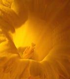 желтый цвет daffodil Стоковое Изображение