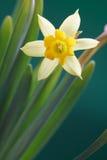 желтый цвет daffodil Стоковые Фотографии RF