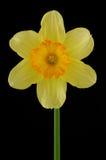 желтый цвет daffodil Стоковая Фотография RF