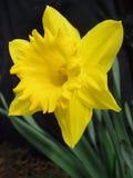желтый цвет daffodil Стоковое Изображение RF