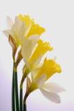 желтый цвет daffodils белый Стоковые Изображения RF