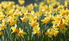 желтый цвет daffodils Стоковые Изображения RF