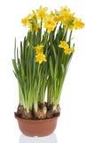 желтый цвет daffodils Стоковое Изображение RF