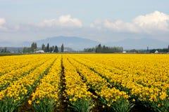 желтый цвет daffodils Стоковая Фотография RF