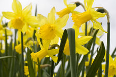 желтый цвет daffodils Стоковое фото RF