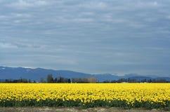 желтый цвет daffodils Стоковое Изображение