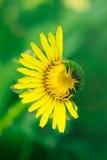 желтый цвет dehisced одуванчиком наполовину стоковое фото rf