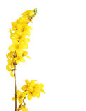 желтый цвет forsythia Стоковое фото RF