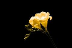 желтый цвет freesia Стоковая Фотография RF
