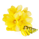 желтый цвет freesias Стоковое Изображение