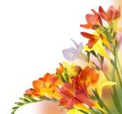 желтый цвет fresia лиловый Стоковое фото RF