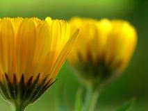 желтый цвет gerber маргаритки стоковое изображение