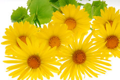 желтый цвет gerber маргаритки стоковые изображения rf