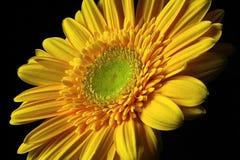 желтый цвет gerber Стоковые Изображения RF