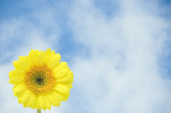 желтый цвет gerber Стоковая Фотография