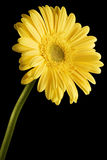 желтый цвет gerbera маргаритки предпосылки черный Стоковое Изображение RF