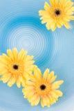 желтый цвет gerbera маргариток Стоковая Фотография RF