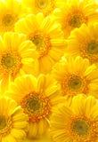 желтый цвет gerbera Стоковое Фото