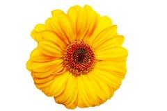 желтый цвет gerbera Стоковые Изображения RF