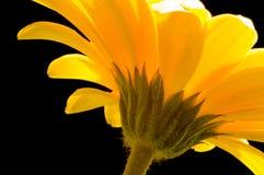 желтый цвет gerbera Стоковая Фотография