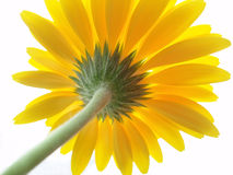 желтый цвет gerbera Стоковые Фото