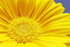желтый цвет gerbera Стоковое фото RF