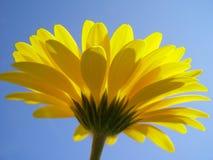 желтый цвет gerbera Стоковые Фотографии RF