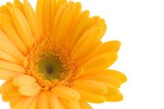 желтый цвет gerbera стоковое изображение rf