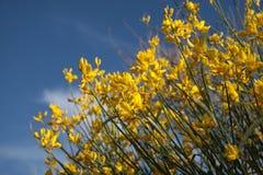 желтый цвет gorse bush Стоковые Изображения