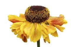 желтый цвет helenium стоковое фото rf