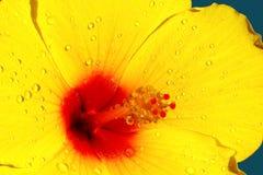 желтый цвет hibiscus Стоковая Фотография RF