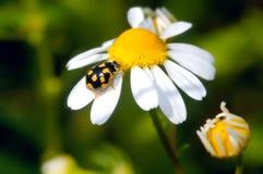 желтый цвет ladybird Стоковые Фотографии RF