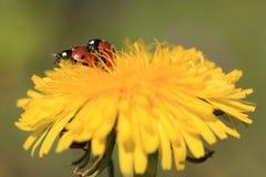 желтый цвет ladybug цветка Стоковая Фотография RF