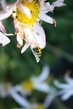 желтый цвет ladybug стоковые изображения rf