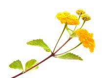 желтый цвет lantana стоковая фотография rf
