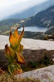 желтый цвет lutea листьев сухой горечавки gentiana Стоковое Изображение