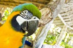 желтый цвет macaw голубой детали высокий стоковые изображения
