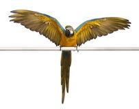 желтый цвет macaw ararauna ara голубой стоковые фотографии rf