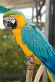 желтый цвет macaw ararauna ara голубой Стоковая Фотография RF