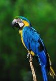 желтый цвет macaw ararauna ara красивейший голубой стоковые изображения