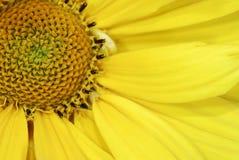 желтый цвет marguerite цветка стоковая фотография