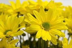 желтый цвет marguerites стоковое изображение rf