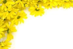 желтый цвет marguerites стоковая фотография rf