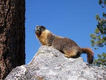 желтый цвет marmot живота стоковые изображения