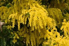 желтый цвет mimosa Стоковое Изображение RF