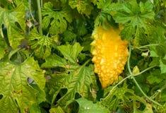 желтый цвет momordika Стоковая Фотография