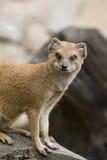 желтый цвет mongoose Стоковая Фотография RF