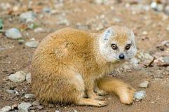 желтый цвет mongoose Стоковые Фото